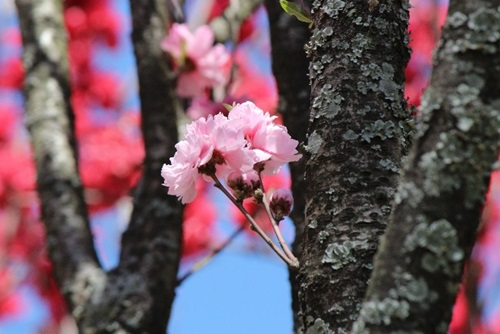 宮地嶽神社の春祭りの画像2